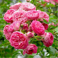 Саженцы вьющейся розы Чаплинз Пинк класс А (8шт)