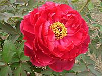 Корневища Пион Древовидный Красный (Full meikouhou)