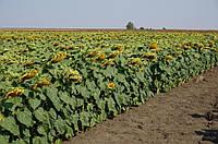 Семена гибрида подсолнечника Флоримис под ЕвроЛайтинг