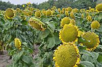 Семена гибрида подсолнечника Флоримис (под ЕвроЛайтинг)