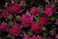 Роза спрей Lovely Lidia