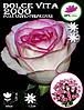 Роза чайно-гибридная Dolce Vita 2000