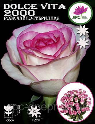 Роза чайно-гибридная Dolce Vita 2000, фото 2