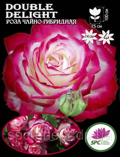 Роза чайно-гибридная Double Delght
