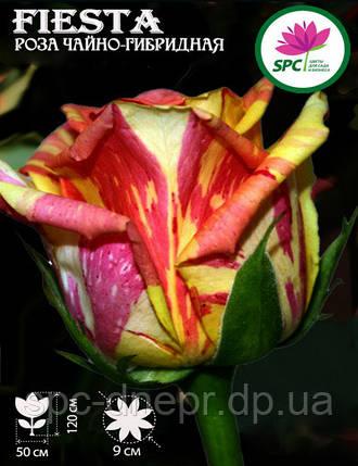 Роза чайно-гибридная Fiesta, фото 2