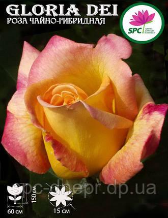 Роза чайно-гибридная Gloria Dei, фото 2