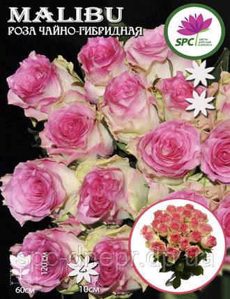 Роза чайно-гибридная Malibu, фото 2