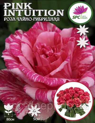 Роза чайно-гибридная Pink Intuition