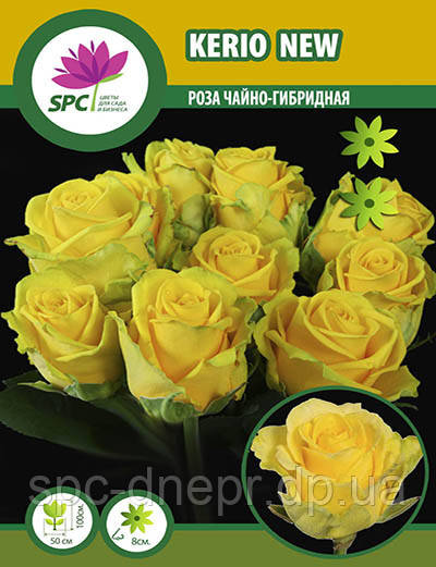 Роза чайно-гибридная Kerio New