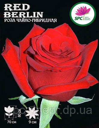 Роза чайно-гибридная Red Berlin, фото 2