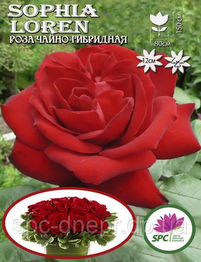Роза чайно-гибридная Sophia Loren