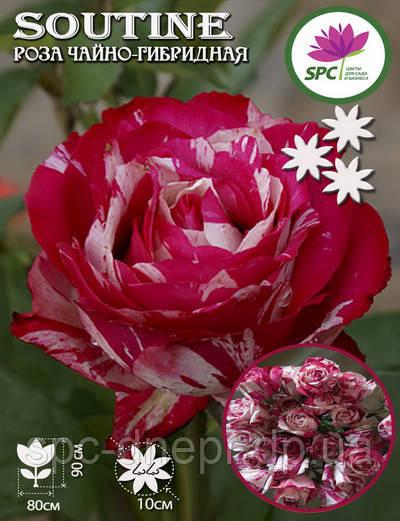 Роза чайно-гибридная Soutine