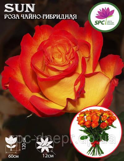 Роза чайно-гибридная Sun(Солнышко)