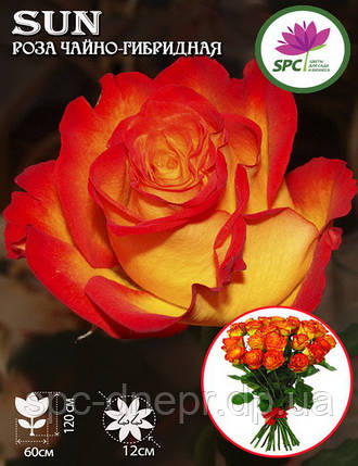 Роза чайно-гибридная Sun(Солнышко), фото 2