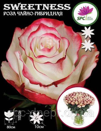 Роза чайно-гибридная Sweetness, фото 2
