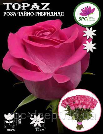 Роза чайно-гибридная Topaz, фото 2