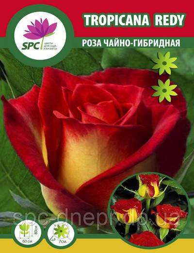 Роза чайно-гибридная Tropicana Redy