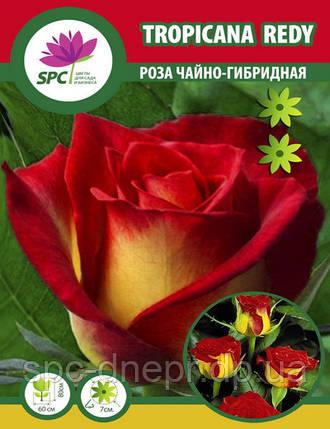 Роза чайно-гибридная Tropicana Redy, фото 2