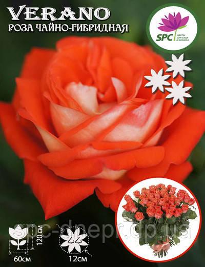 Роза чайно-гибридная Verano