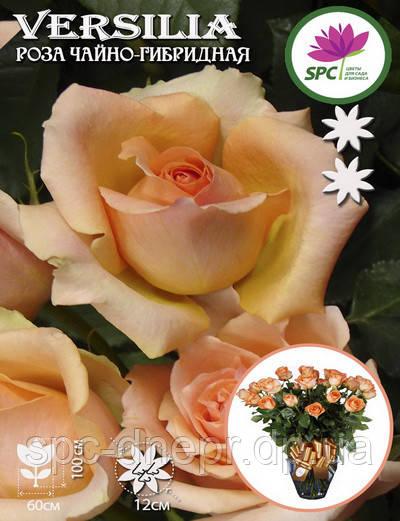 Роза чайно-гибридная Versilia