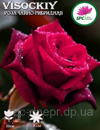 Роза чайно-гибридная Visockiy, фото 2