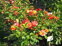 Розы штамбовая