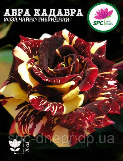 Роза чайно-гибридная Abracadabra