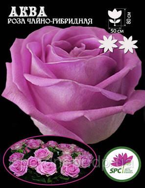 Роза чайно-гибридная Aqua, фото 2