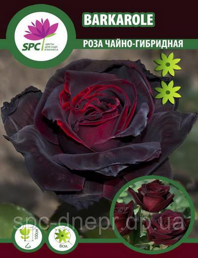 Роза чайно-гибридная Barkarole