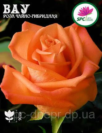 Роза чайно-гибридная Wow, фото 2