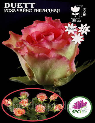 Роза чайно-гибридная Duett, фото 2