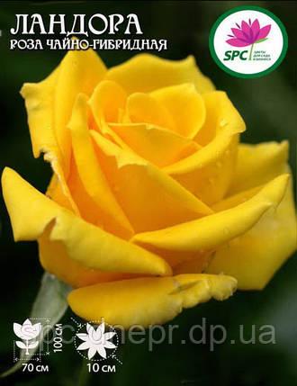 Роза чайно-гибридная Landora, фото 2