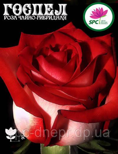 Роза чайно-гибридная Gospel