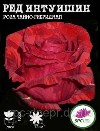 Роза чайно-гибридная Red Intuition, фото 2
