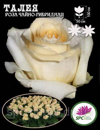Роза чайно-гибридная Talea, фото 2