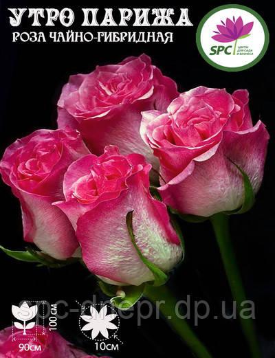 Роза чайно-гибридная Utro Parisa