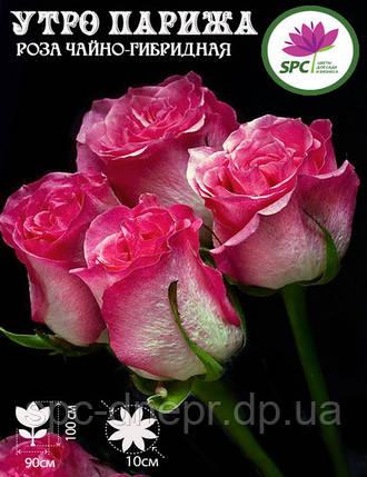 Роза чайно-гибридная Utro Parisa, фото 2