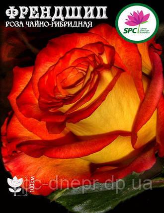 Роза чайно-гибридная Friendship, фото 2