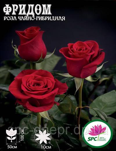 Роза чайно-гибридная Freedom