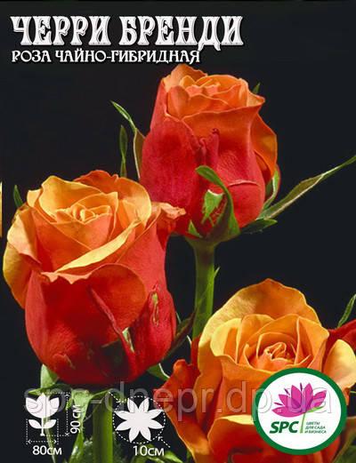Роза чайно-гибридная Cherry Brandy