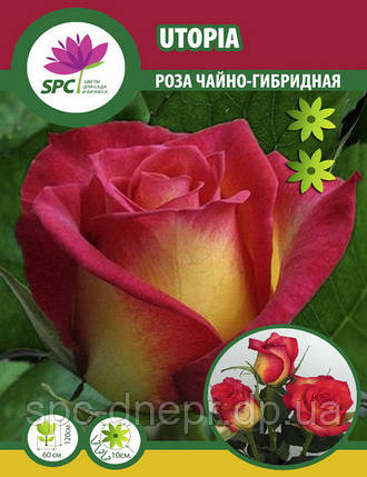 Роза чайно-гибридная Utopia, фото 2