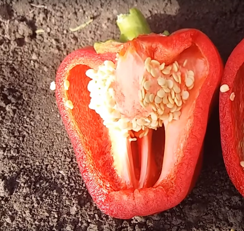 Семена перца Эрзо F1 (AGX 26-05 F1) Agri Saaten 500 семян