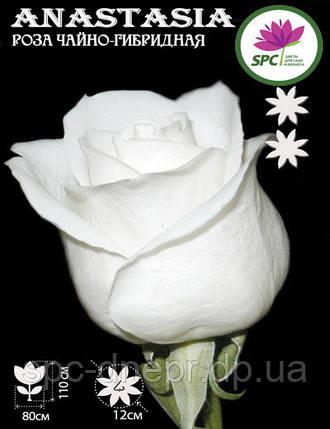 Роза чайно-гибридная Anastasia, фото 2