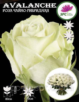 Роза чайно-гибридная Avalanche, фото 2