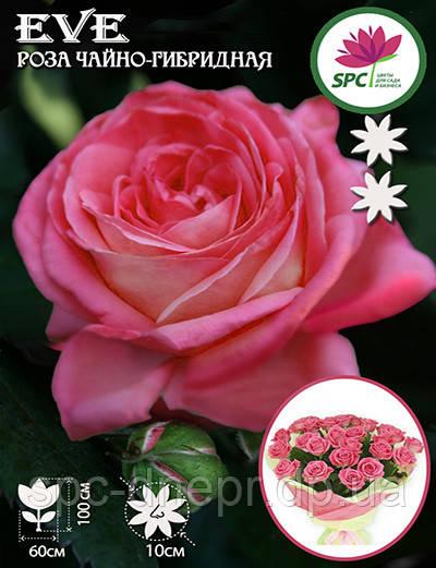 Роза чайно-гибридная Eve