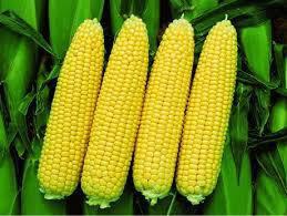 Кукуруза сахарная Бондюэлька F1 5 гр  Syngenta Агропакгруп