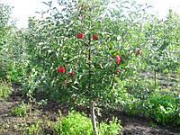 Яблоня Топаз на семенном подвое.