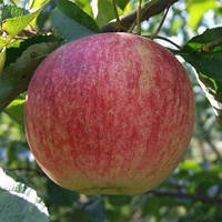 Саджанці яблуні Слава Переможцям, фото 1