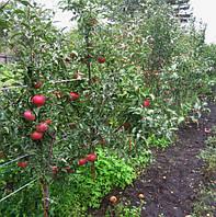 Яблони карликовом подвое М9.