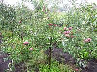 Яблони на среднерослом подвое 54-118